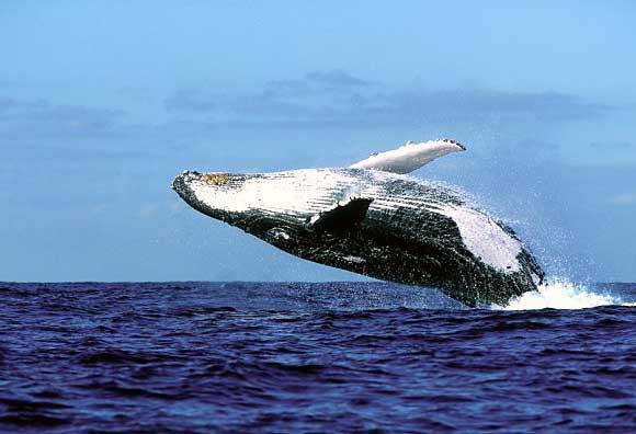 whale-hermanus