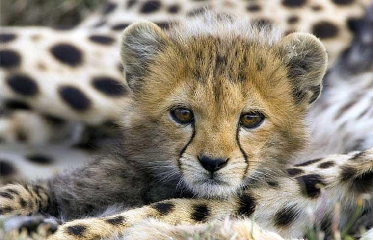 ann-van-dyk-cheetah-centre