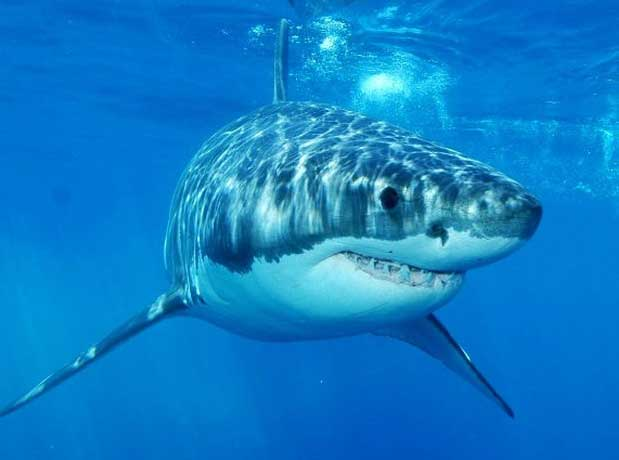 great-white-shark-front